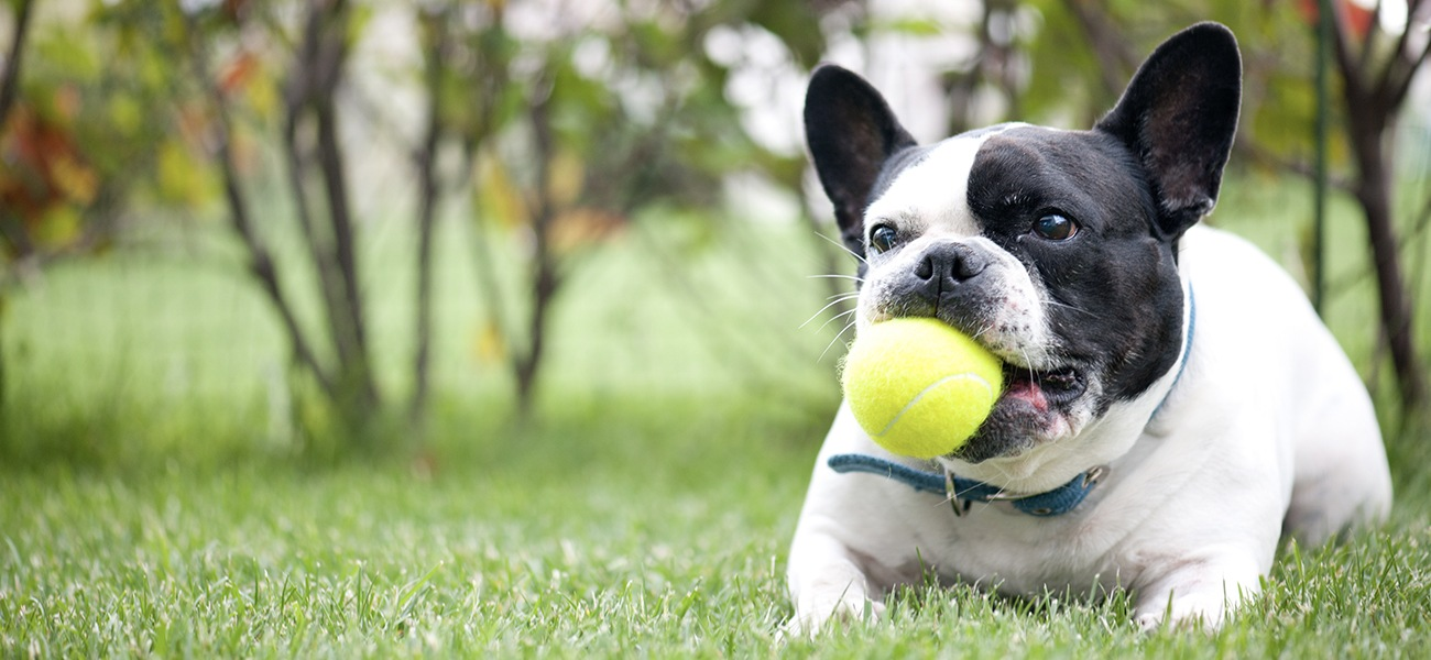 French bulldog with a tennis ball in its mouth
